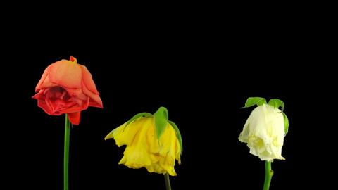 Time-lapse dying three colorful roses ALPHA matte 1 Footage