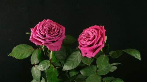 Time-lapse of dying red roses 4 Stock Video Footage