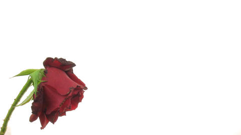 Time-lapse of dying red rose isolated on white 7 Stock Video Footage