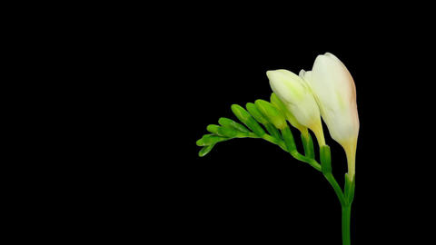Time-lapse opening white freesia flower buds ALPHA matte 1 Stock Video Footage