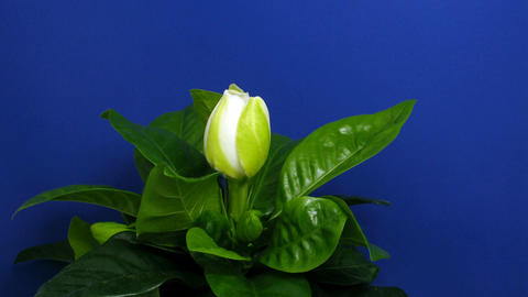 Time-lapse of gardenia flower opening 1 Stock Video Footage