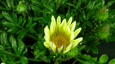 Time-lapse of growing gazania flower 1 Stock Video Footage