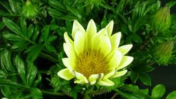 Time-lapse of growing gazania flower 1 Stock Video Footage