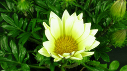 Time-lapse of growing gazania flower 1 Footage