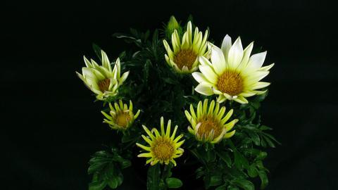 Time-lapse of growing gazania flower 3 Stock Video Footage
