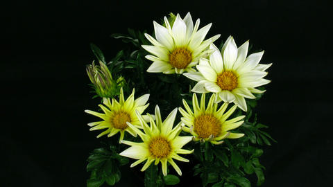 Time-lapse of growing gazania flower 3 Footage