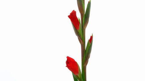 Time-lapse of red gladiolus flower opening 2 Stock Video Footage