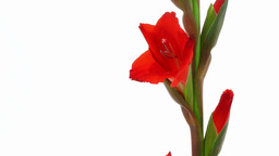 Time-lapse of red gladiolus flower opening 2 Footage