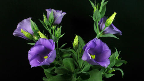 Time-lapse of blooming eustoma 1 (part B) Stock Video Footage