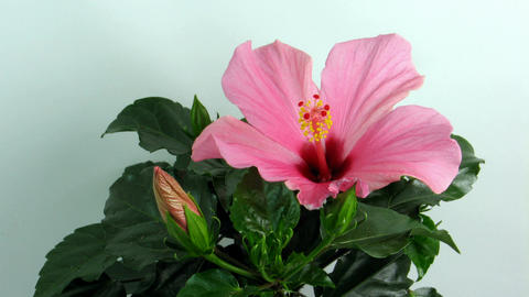 Time-lapse of dying pink hibiscus flower 1 Footage