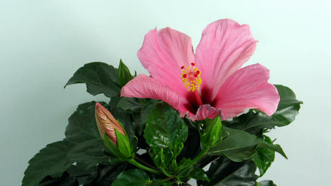 Time-lapse of dying pink hibiscus flower 1 Stock Video Footage