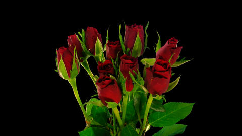 Time-lapse of opening red roses bouquet ALPHA matte 3 Stock Video Footage