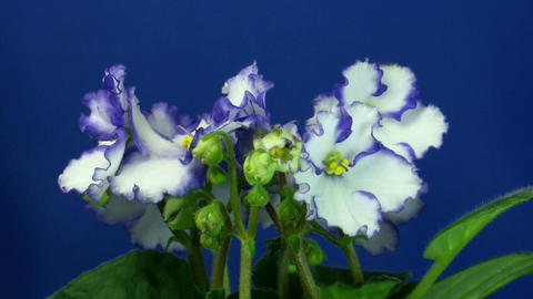 Time-lapse of white-blue saintpaulia growing 1 Stock Video Footage