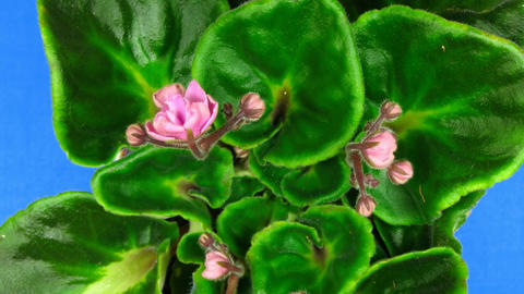Time-lapse of pink saintpaulia growing against blue... Stock Video Footage