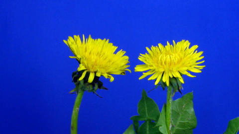 Time-lapse of growing and blooming Dandelion 1 Stock Video Footage