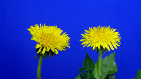 Time-lapse of growing and blooming Dandelion 1 Archivo