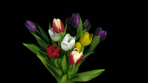 Time-lapse of opening colorful tulips bouquet 1 Stock Video Footage