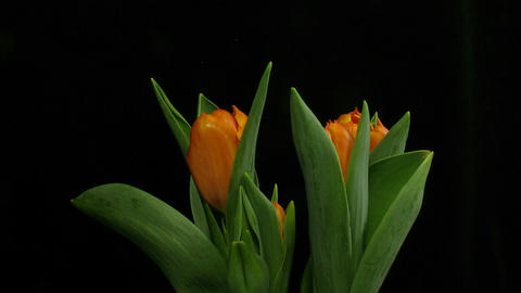 Time-lapse of opening orange tulips 1 Stock Video Footage