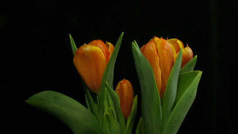 Time-lapse of opening orange tulips 1 Footage