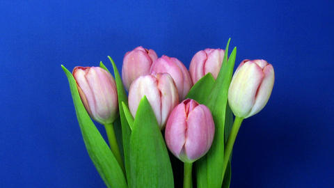Time-lapse of opening pink tulips bouquet 1 Stock Video Footage