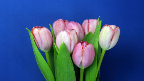 Time-lapse of opening pink tulips bouquet 1 Footage