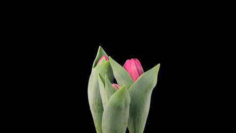 Time-lapse of growing red tulips ALPHA matte 4 Stock Video Footage
