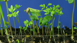 Time lapse of growing vegetables 1 Stock Video Footage