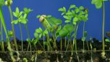 Time Lapse Of Growing Vegetables 1 stock footage
