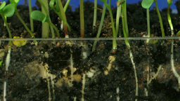 Time lapse of growing vegetables roots 3 Stock Video Footage