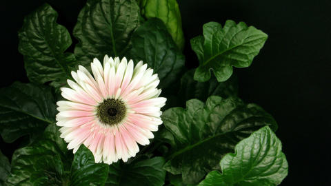Time lapse of pink zinnia flower growing 1 Footage
