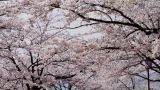 Cherry Blossoms 桜 In Japan stock footage