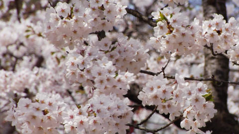 Sakura close up Stock Video Footage