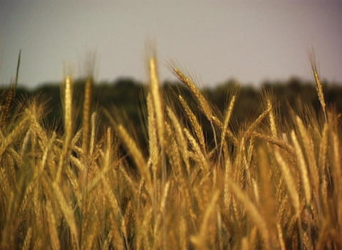 Grain Field Stock Video Footage