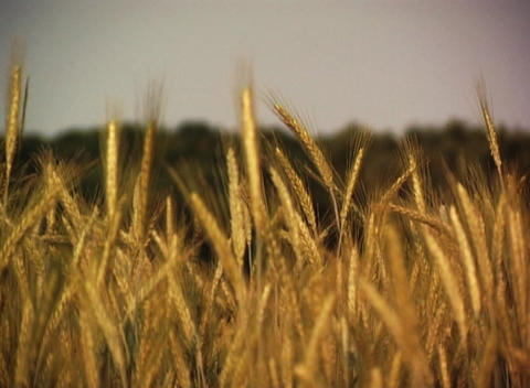 Grain Field stock footage