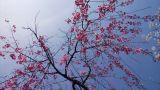 Sakura - Shidarezakura stock footage