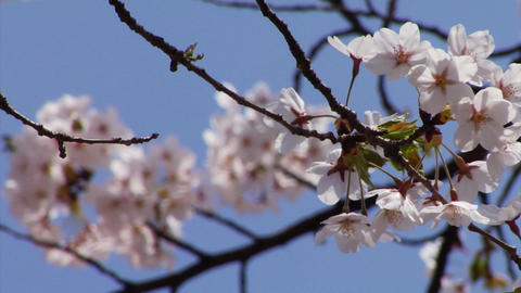 Cherry Blossoms 0