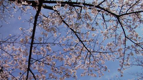 Sakura Stock Video Footage
