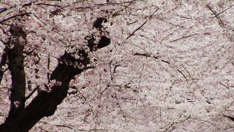 Sakura Blooms in Spring Stock Video Footage