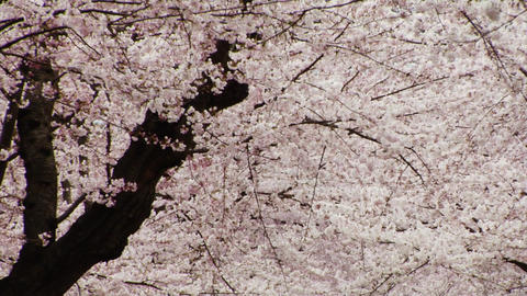 Sakura Blooms in Spring Footage