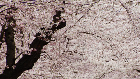 Sakura Blooms in Spring Stock Video Footage