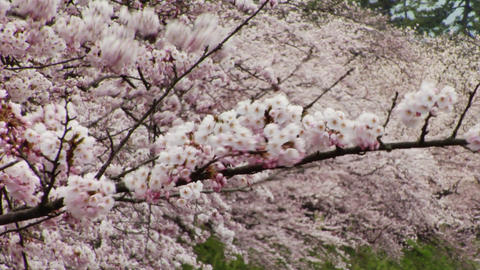 Somei Yoshino Cherry Blossoms In Japan Footage