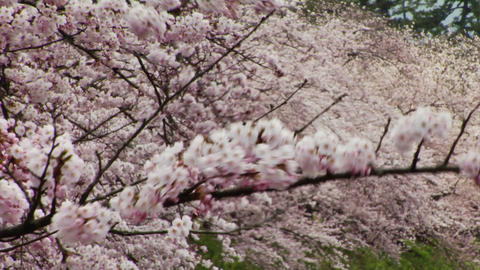 Somei Yoshino Cherry Blossoms In Japan Stock Video Footage