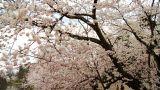 Hirosaki Castle With Sakura stock footage