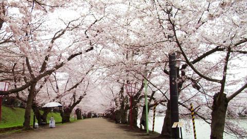 Japan Sakura Street Footage