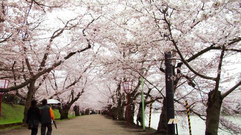 Japan Sakura Street Stock Video Footage