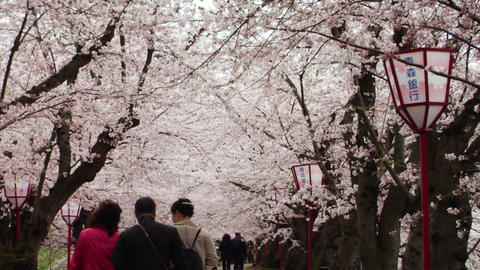 Japan Cherry Blossoms Street Footage
