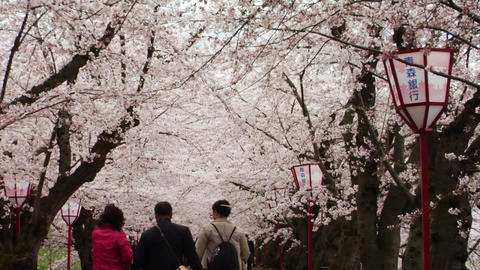 Japan Cherry Blossoms Street Stock Video Footage