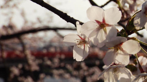 Sakura Petals Stock Video Footage
