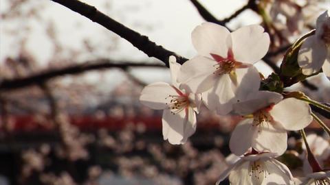 Sakura Petals Footage