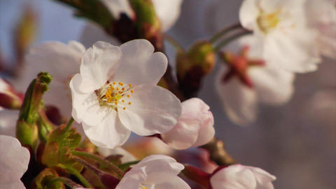 Cherry Blossom Petals Footage